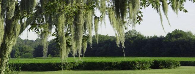 oak tree and tea fields
